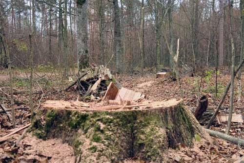 В Суджанском районе вырубили дубы на 9 миллионов